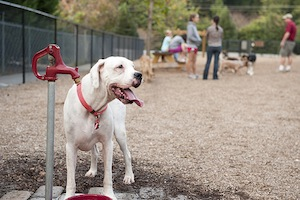 white dog in a dog park